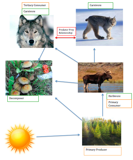 Animal food web taiga/coniferous forest.